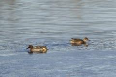 Crecca commun d'ana de sarcelle d'hiver sur un étang Images libres de droits