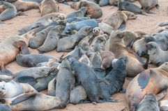 Creche of Cape Fur Seal pups at Cape Cross. A creche of Cape Fur Seal pups, Arctocephalus pusillus, at Cape Cross on the Skeleton Coast of Namibia royalty free stock photography