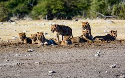 Creche of young lions in a group. Young lions grouped together in a creche or nursery whilst the adults drink at the waterhole royalty free stock photo