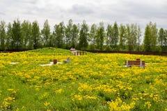 Crecido demasiado con el parque abandonado dientes de león amarillos florecientes Imágenes de archivo libres de regalías