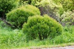 Crecido demasiado con los arbustos del sauce Fotografía de archivo libre de regalías