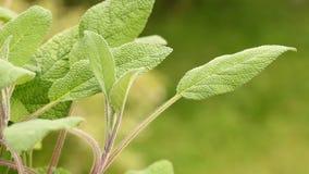 Crecido orgánico sabio en el jardín almacen de video
