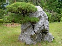 Crecido a través de la roca Foto de archivo