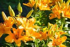 Creciendo en los lirios del jardín debajo del sol, muchos lirios en el primero plano fotos de archivo libres de regalías