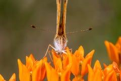 Creciente de la perla en la mala hierba de mariposa 3 foto de archivo libre de regalías