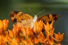 Creciente de la perla en la mala hierba de mariposa 5 fotografía de archivo libre de regalías