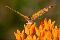 Creciente de la perla en la mala hierba de mariposa 1 fotografía de archivo libre de regalías