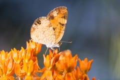 Creciente de la perla en mala hierba de mariposa fotografía de archivo libre de regalías