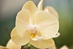 Crecimiento amarillo de la orquídea Foto de archivo