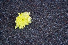 Crecimiento amarillo en el asfalto, concepto de la flor de esperanza Fotografía de archivo libre de regalías