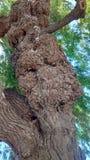 Crecimiento anormal del árbol Foto de archivo libre de regalías