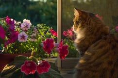 Crecimiento completo de la sentada de pelo largo, mullida, rayada del gato Color, imagenes de archivo