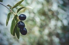 Crecimiento de aceitunas maduras en un olivetree imagen de archivo