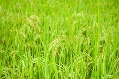 Crecimiento de cosecha del arroz en la plantación Fondo de la agricultura del campo Imagenes de archivo