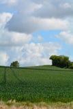 Crecimiento de cosecha del trigo en campo Foto de archivo
