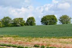 Crecimiento de cosecha del trigo en campo Fotos de archivo