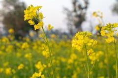 Crecimiento de flor amarillo de la planta de la mostaza en granja imagen de archivo libre de regalías