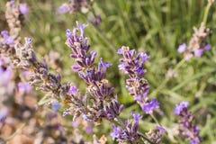 Crecimiento de flor de Levander en jardín Fotografía de archivo libre de regalías