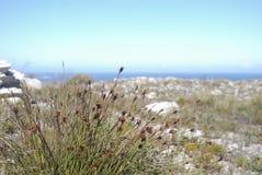 Crecimiento de flor herboso salvaje de los fynbos en la arena cerca de la playa en el punto del cabo Imagen de archivo