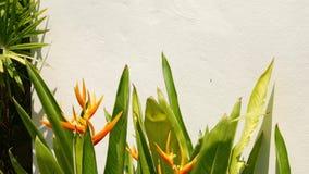 Crecimiento de flor hermoso del Strelitzia cerca de la pared Crecimiento de flores bonito de la ave del para?so cerca de la pared almacen de video