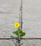 Crecimiento de flor hermoso en la calle de la grieta Fotografía de archivo libre de regalías