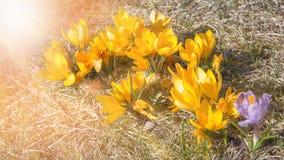 Crecimiento de flor hermoso de las azafranes en la hierba seca, la primera muestra de la primavera Fondo natural soleado estacion Fotos de archivo libres de regalías