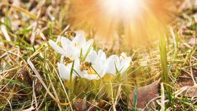Crecimiento de flor hermoso de las azafranes en la hierba seca, la primera muestra de la primavera Fondo natural soleado estacion Imagen de archivo