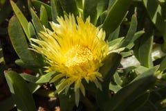 Crecimiento de flores amarillo del higo hotentote sobre el Océano Atlántico en la parte westernmost de Europa imágenes de archivo libres de regalías