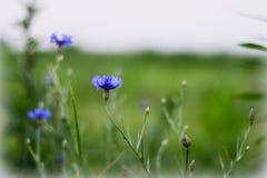 Crecimiento de flores azul en un prado - acianos Falta de definición grande del fondo, pequeña profundidad del campo imagen de archivo
