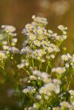 Crecimiento de flores de la margarita de la manzanilla salvaje en prado verde Fotos de archivo