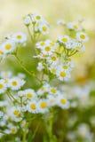 Crecimiento de flores de la margarita de la manzanilla salvaje en prado verde Imágenes de archivo libres de regalías
