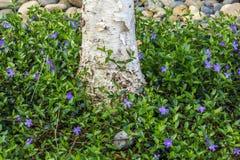 Crecimiento de flores del bígaro en la tierra Foto de archivo libre de regalías