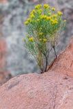 Crecimiento de flores del desierto en roca de la montaña Imagen de archivo