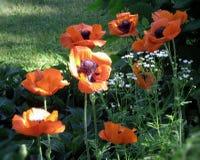 Crecimiento de flores del ` s de la amapola en el jardín Foto de archivo libre de regalías
