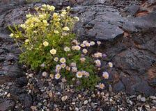 Crecimiento de flores en la lava en los cráteres de la luna Fotos de archivo