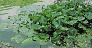 Crecimiento de flores en la superficie del lago naturalmente Imagen de archivo