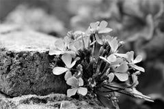 Crecimiento de flores fuera de la pared de ladrillo Fotografía de archivo