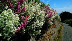 Crecimiento de flores a lo largo de pista de senderismo irlandesa Foto de archivo libre de regalías