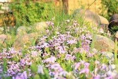 Crecimiento de flores púrpura Fotografía de archivo