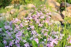 Crecimiento de flores púrpura imagen de archivo
