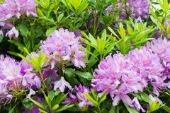 Crecimiento de flores púrpura en un jardín con la abeja Fotos de archivo
