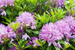 Crecimiento de flores púrpura en un jardín con la abeja Fotografía de archivo libre de regalías