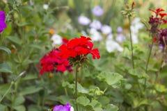 Crecimiento de flores rojo del Pelargonium imágenes de archivo libres de regalías