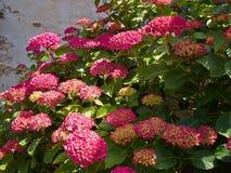 Crecimiento de flores rosado de Hortensia Hydrangea en el jardín Imágenes de archivo libres de regalías