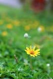 Crecimiento de flores salvaje de la margarita en prado verde Fotografía de archivo libre de regalías