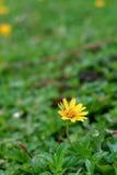 Crecimiento de flores salvaje de la margarita en prado verde Imagenes de archivo