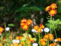 Crecimiento de flores salvajes en prado de la hierba verde con el fondo borroso del bokeh Fotos de archivo libres de regalías