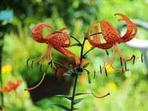 Crecimiento de flores de Tigerlily en jardín imágenes de archivo libres de regalías