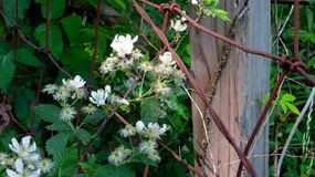 Crecimiento de flores a través de la cerca vieja Fotos de archivo