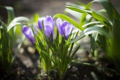Crecimiento de flores violeta iluminado por el sol del azafrán en tierra abierta Imagen de archivo